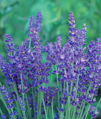 Lavender - The Ancient Herbal