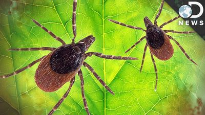 Ticks and Lyme Disease - What is It?